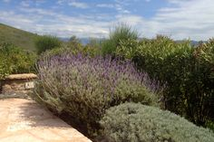 So proud of my lavenders! Greece, Gardens, Vacation, Plants, House, Greece Country, Vacations, Home, Outdoor Gardens