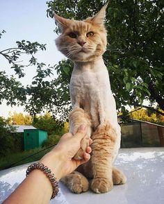 "От @tailerthemainecoon :""Добрый вечер,царь!"" #pet #cat #catstagram #petstagram #photooftheday #catsofinstagram #猫 #貓 #고양이 #แมว #gatto #instagramcats #catoftheday #catlover #instacat #catsofinstagram #bestmeow #котики #кот #котэ"