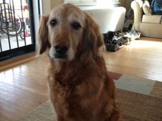 This is Gaige - 13 yrs. She is spayed, current on vaccinations, gets along with other dogs & kids, is potty trained & has good house manners. She has no trouble with stairs or hard wood floors. Gaige is a sweet girl looking for a forever home and is at Golden Retriever Freedom Rescue, CO.