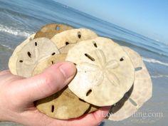 hand full of sand dollars ft myers beach