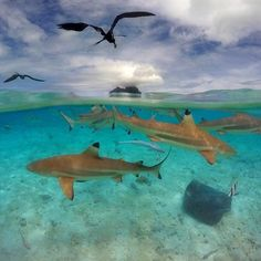 GoPro Featured Photographer - About the Shot: Black Tip sharks, rays, frigates and other animals circle with in the barrier reef during the Ironman KXT Liquid Festival in on December Black Tip Shark, National Geographic Adventure, Outrigger Canoe, Reef Shark, Action Photography, Ocean Creatures, Crystal Clear Water, Water Activities, The World's Greatest