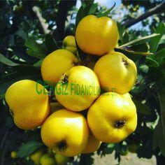 Aşılı alıç fidanı ve meyvesi