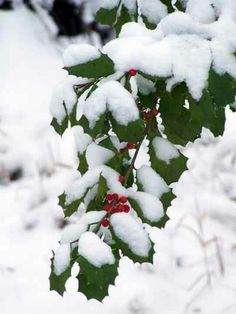 Snow on a holly tree branch.