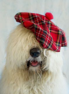 Christmas Red ~ Sheepdog looking dapper in his tartan beret. Caravan, Tartan Plaid, Tartan Christmas, Christmas Pets, Christmas Animals, Old English Sheepdog, Looking Dapper, Tier Fotos, Funny Animals
