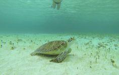 Turtle, Petite Terre, Caribbean More at http://seasunstories.com