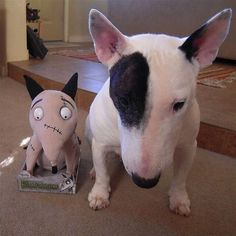 Bully fan with Frankenweenie toy English Bull Terrier Dog Frankenweenie Chien Bull Terrier, Mini Bull Terriers, English Bull Terriers, I Love Dogs, Cute Dogs, Education Canine, Terrier Breeds, Dog Illustration, Best Dog Breeds