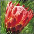 Protea beauty