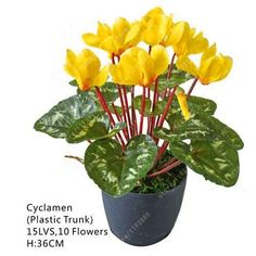 20 pcs/bag cyclamen flower, beautiful bonsai flower seeds for home garden plant pot Natural growth cyclamen seeds kids love it