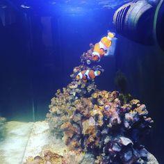 #acuariofilia #acuario #reef #reeftank #ocellaris #ocellarisclownfish #clownfish #pezpayaso #pez https://t.co/Gk3DgNgzxT