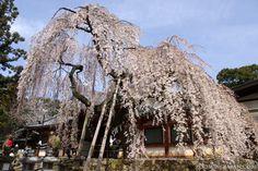 A beautiful cherry blossom tree in Nara.