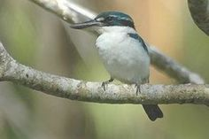 Melanesian kingfisher - WikiMili, The Free Encyclopedia