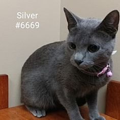 Alvin, Texas - Domestic Shorthair. Meet Silver, a for adoption. https://www.adoptapet.com/pet/20825067-alvin-texas-cat