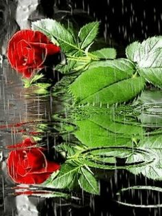 Love roses!! Gifs, Love Rose, Beautiful Pictures, Beautiful Beautiful, Plant Leaves, Rain, Animation, Garden, Flowers
