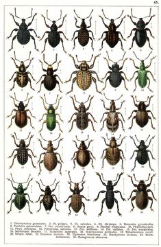 "G.G. Yakobson (1905-1915) - ""Beetles of Russia"": table 45"