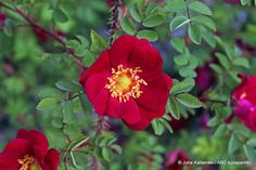 Ruusu Tove Jansson (Spinosissima) Pimpinella Poppius x Red Nelly Flowers, Rose, Plants
