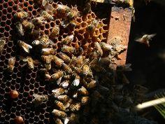 Las abejas trabajando