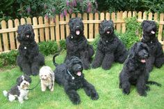 Black Russian Terrier (BRT) can live well w/ small dogs Silly Dogs, Big Dogs, Large Dogs, Cute Dogs, Dogs And Puppies, Doggies, Cavalier King Charles, Charles Spaniel, Fox Terrier