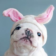 All dogs are heartwarming creatures (when they're not showing teeth), but there are a few of them that are simply gorgeous, like Bulldogs! These are fun to watch, with their chubby short legs and flat faces. Fluffy Animals, Baby Animals, Cute Animals, Baby Dogs, Dogs And Puppies, Doggies, Wooly Bully, Pet Costumes, Dog Photography