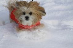 A Brazilian Lhasa Apso has discovered her love of Canadian winter weather!