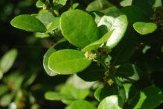 ilex-paraguariensis Plant Leaves, Plants, Planters, Plant, Planting