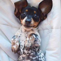 'Hi, there' - Adorable Little Reese the Miniature Dachshund Puppy