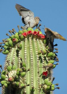 A dove and a gilded flicker battle over saguaro fruit in Phoenix. - AZ