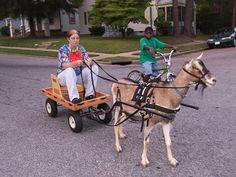 ece62f4b239b591906814b9429541191 kozy midwifery working goats in harness babygoatfarm working goats goat harness at crackthecode.co