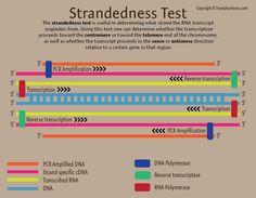 Strandedness Test