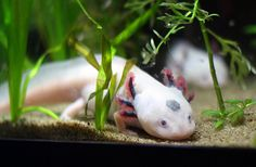 """Axolotyl"" by stephamelon Weird Creatures, Albino, Under The Sea, Aquarium, Pets, Amazing, Animals, Animais, Animales"