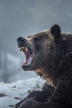 Ursus arctos horribilis by Robert Downie on / Oso - angry bear Nature Animals, Animals And Pets, Cute Animals, Angry Animals, Wild Animals, Ours Grizzly, Grizzly Bears, Grizzly Bear Tattoos, Alaskan Brown Bear