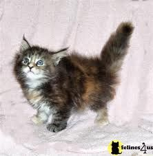 Maine Coon Kitten what pretzal looked like when he was a kitten but it's not him