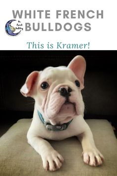 Hi, I'm Kramer a extreme pied/white male French Bulldog! Look at how cute my little face is. My daddy is Tattoo, a lilac merle with tan points and momma is a beautiful blue Pristine. I love living with my furever family in Colorado! #FrenchBulldog #FrenchBulldogs #FrenchBulldogpuppy #FrenchBulldogpuppies #TheFrenchBulldog #cuteFrenchBulldogs #FrenchBulldogVideos #Frenchies #BlueFawnFrenchBulldogs #PiedFrenchBulldogs #BlueFrenchBulldogs Merle French Bulldog, White French Bulldogs, French Bulldog Puppies, French Bulldog Prices, French Bulldog Names, Love French, Blue Merle, White Man