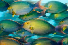 On a mission to feed, yellowfin surgeonfish crowd the water at Nikumaroro. Photograph by Brian Skerry