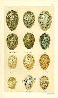 Antique print: picture of Raven, Crow, Rook, Nutcracker, Chough, Jay, Jackdaw and Magpie eggs -
