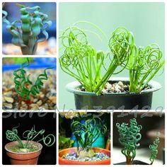 100/bolsa de Pecado plantas de la humanidad, primavera de la hierba semillas de hoja ancha, suculentas, nuevas plantas,