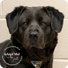 Adopted! URGENT!  I am at a kill shelter in Troy, OH - Labrador Retriever/Chow Chow Mix. Meet Howie a Dog for Adoption.
