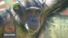 Helping chimps hang on to their wild side