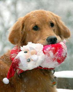Christmas Golden Retriever Puppy