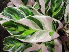 Calathea 'Fusion White' Got some today at the shop! I love meeting new houseplants. Colorful Plants, Unusual Plants, Tropical Plants, Outdoor Plants, Garden Plants, Calathea Plant, Large Flower Pots, Low Light Plants, Pink Plant