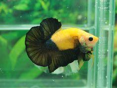 Pretty Fish, Cool Fish, Beautiful Fish, Animals Beautiful, Betta Fish Types, Betta Fish Tank, Beta Fish, Colorful Fish, Tropical Fish