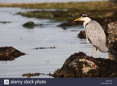 Stock Photo - Grey Heron, Ardea cinerea,The Isle of Arran, Scotland, June 2009 Isle Of Arran, Grey Heron, Highlands, Bald Eagle, Royalty Free Images, Scotland, June, Characters, Birds