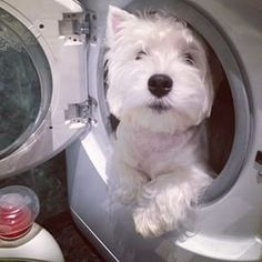 How to keep a Westie white?