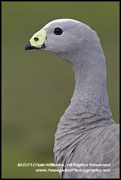 Cape Barren Goose (Cereopsis novaehollandiae) - Kangaroo Island by Anaspides Photography - Iain D. Williams, via Flickr