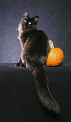 black maine coon | QUIN -- Black Smoke Maine Coon Cat - photo copyright Helmi Flick | Maine Coon | Pinterest | Life is, Black smoke and Ears