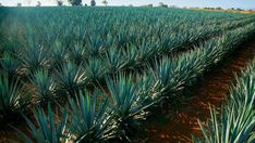 Mexico's main Tequila producing region in Jalisco, is home to a breathtaking landscape of blue agave fields.