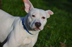 Pearl is an adoptable Pit Bull Terrier searching for a forever family near Dewitt, NY. Use Petfinder to find adoptable pets in your area.