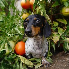 'I love you from my head tomatoes' - Cute Little Reese the Miniature Dachshund Puppy