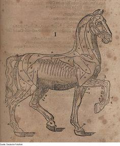 """Carlo Ruini, 16th century. from """"Anatomia del Cavallo""""."""