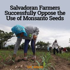 Farmers across El Salvador united to block a stipulation in a US aid package to their country that would have indirectly required the purchase of Monsanto genetically modified (GM) seeds. More here: http://gmoinside.org/salvadoran-farmers-successfully-oppose-use-monsanto-seeds-truthout #GMOs #food #GEfood #US #StopMonsanto