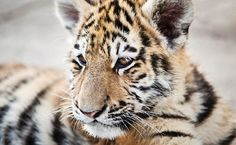 Success! Florida Zoo Was Ordered To Stop Forcing Baby Tigers To Swim With Tourists | Care2 Causes